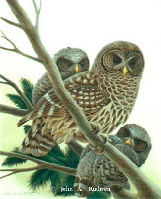 Barred Owls by John Ruthven