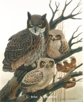 Great Horned Owl Family by John Ruthven
