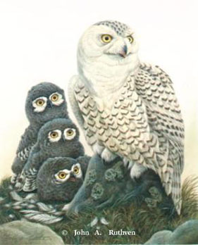 Snowy Owl Family by John Ruthven