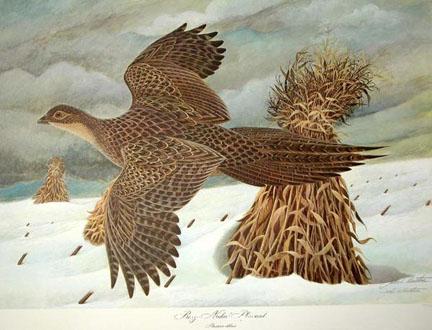 Female Ring-Necked Pheasant by John Ruthven
