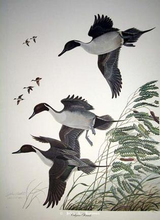 Oakgrove Pintail by John Ruthven