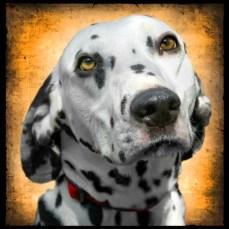 Marc Wavra dog portrait #2